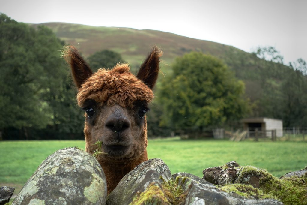 Alpaca stares at the camera with a hill in the background